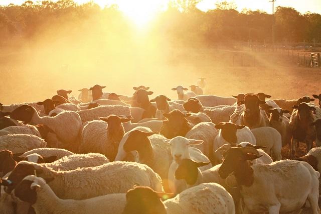 piggy sheep